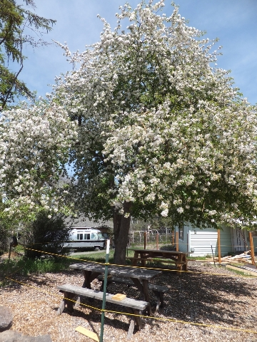 The apple tree in bloom