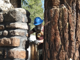 The huge Ponderosa Pine